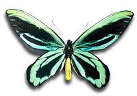 queen-alexandras-birdwing